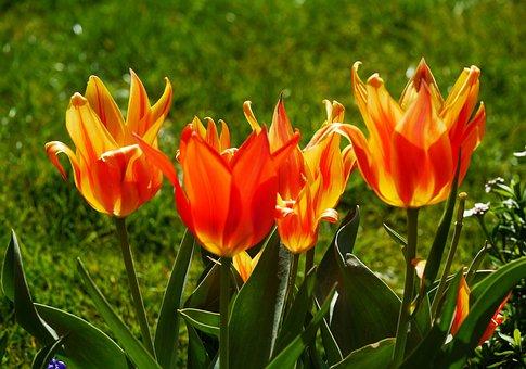 Tulips, Tulpenbluete, Spring, Colorful, Tulip Cup