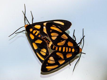 Moths, Tiger Moth, Amata Trigonophora, Two, 2, Black