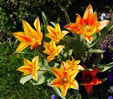 Tulips, Open, Sun, Sunny Day, Light, Shadow, Flamed