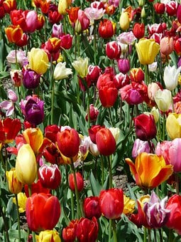 Tulip Cultivation, Tulips, Tulpenbluete, Flowers