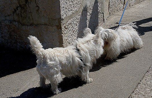 Dogs, Small Dogs, Maltese, White Dog, White Maltese