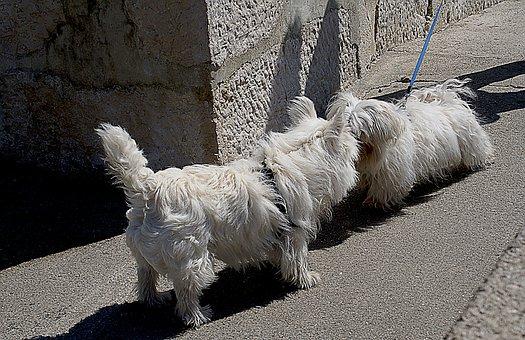 Dogs, Small Dogs, Maltese, White Dog, White Maltese