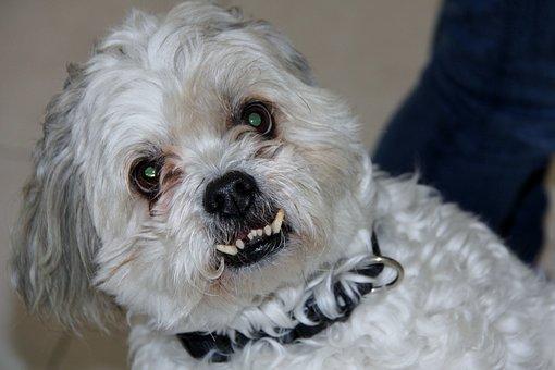 Shitzu, Maltese, Dog, Aggressive, Horror, Bite, Zombie