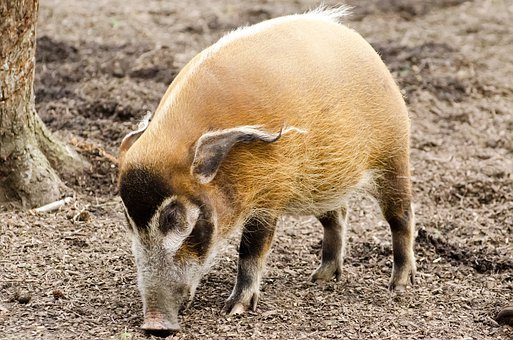 Africa, African, Animal, Boar, Fauna, Hairy, Hog
