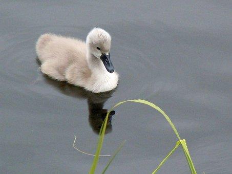 Swan Child, Chicken, Baby Animal