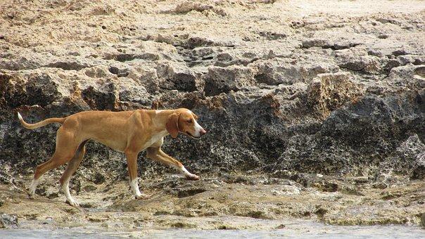 Dog, Stray, Wandering, Beach