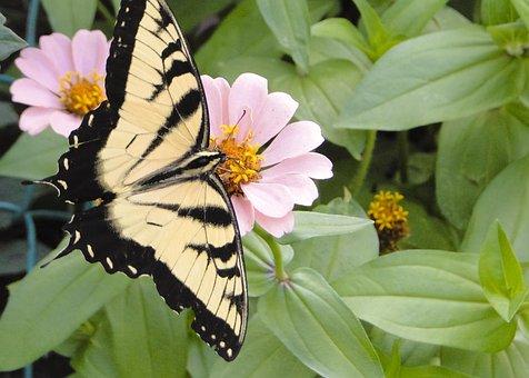Butterfly, Tiger Swallowtail, Zinna, Beautiful