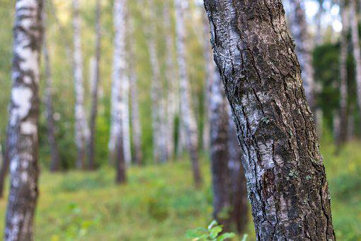 Birch, Birchwood, Forest, Trunks, Trees, Nature, Russia