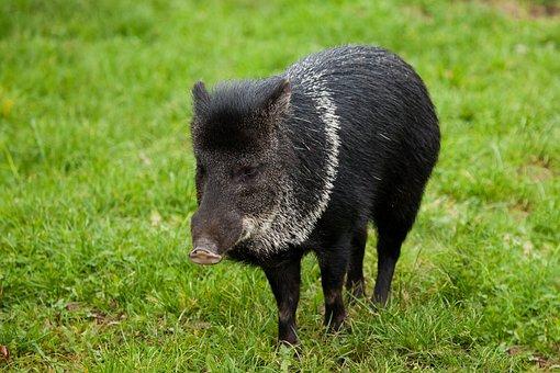 Animal, Black, Boar, Grass, Green, Hog, Mammal
