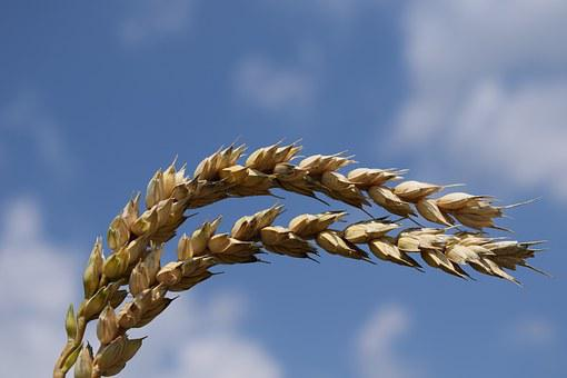 Wheat, Close Up, Cereals, Ear, Sky, Blue, Gold, Food