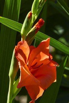 Gladiolus, Sword Flower, Iridaceae, Red, Green, Buds