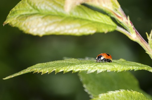 Ladybird, Winged Insect, Close-up, Ladybug, Beetle
