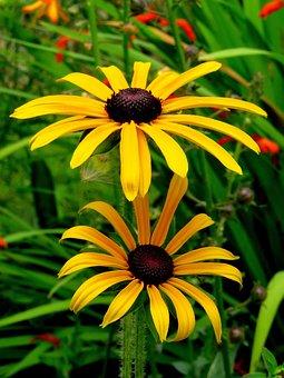 Coneflower, Rudbeckia, Gold Storm, Yellow, Flower