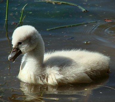 Cygnet, Baby Swan, Bird, Chick, Fledgling, Cygnus, Swim