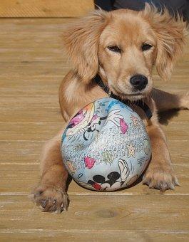 Puppy, Dog, Ball, Play, Sweet, Playful, Hybrid