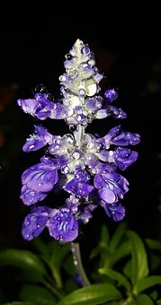 Sages, Salvia, Flowers, Purple Flowers, Purple