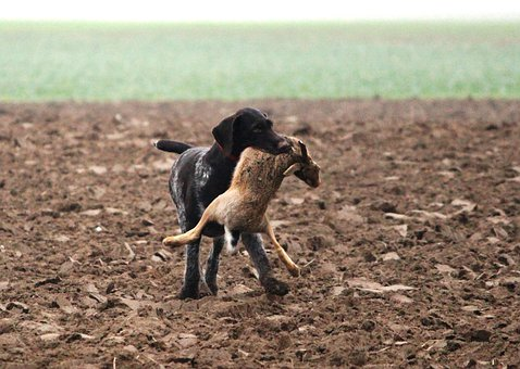 Dog, Wirehaired, Hunting, Race, Animal, Hare, Field