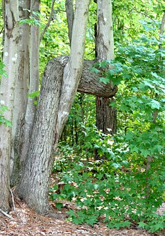 Crooked Tree, Horizontal Trunk, Anomaly, Wood, Forest