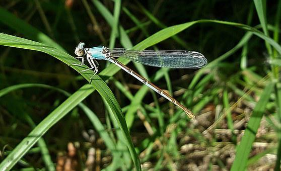 Damselfly, Insect, Blue-fronted Dancer, Insectoid