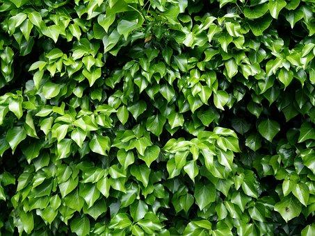 Ivy, Leaves, Green, Climber, Leaf, Nature, Ivy Leaf