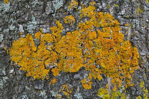 Lichen, Ordinary Gelbflechte, Xanthoria Parietina