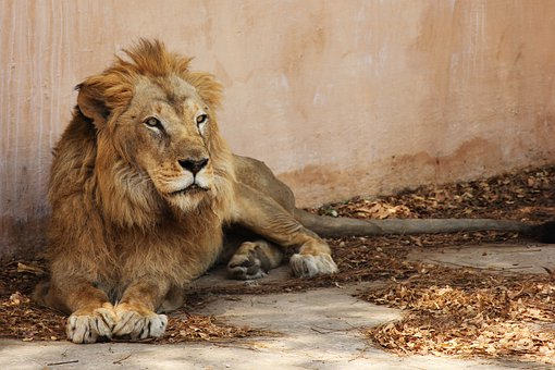Lion, Indian Lion, Light Brown Lion, Jaipur Zoo, Animal