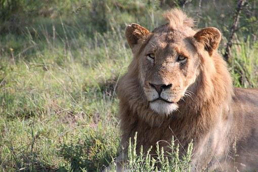 Lion, Nature, South Africa, Animals, Wildlife
