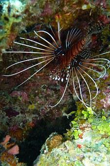 Lionfish, Pacific Rotfeuerfisch, Beautiful, Exceptional