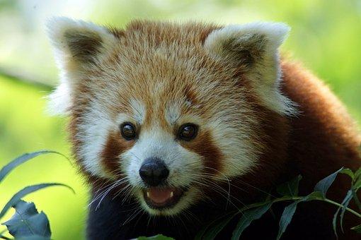 Panda, Red Panda, Close, Asia, Bear, Little Bear