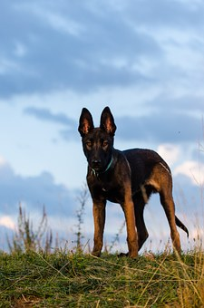 Malinois, Young Dog, Brown, Quadruped, Pet, Animal