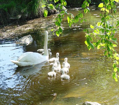 Mother Swan, Cygnets, Spring, Animal, Nature