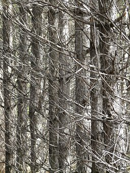 Pine, Forest, Pine Forest, Scrub, Thicket, Dry