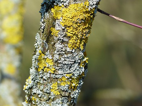 Lichen, Schuesselflechte, Leaf Braid, Blue Grey