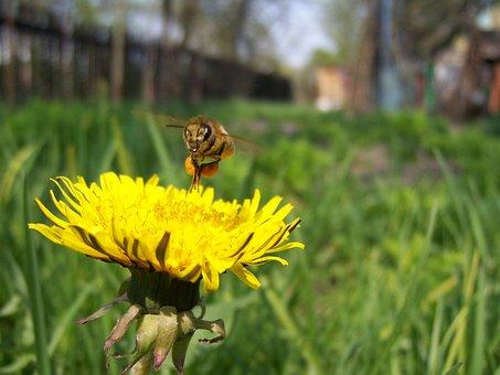 Bee, Dandelion, Pollen, Sontse, Work, Spring, Season