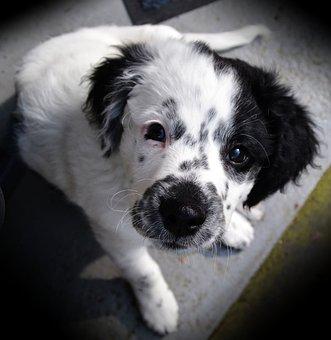 Dog, Young, Cute, Doggy, Frisian Stabij, Stabij