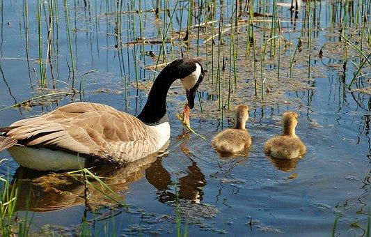 Canada Goose, Branta Canadensis, Swan, Swans, Bird