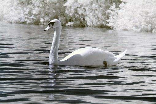 Swan, Bird, Nature, White, Wild, Water, Beautiful