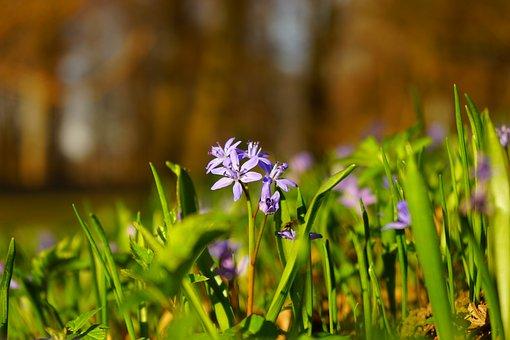 Tiefenschärfe, Depth Of Field, Blur, Blue Star, Scilla
