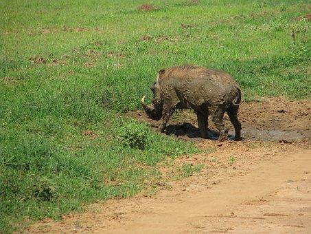 Warthog, Pig, Wild, Tusk, Suidae, Boar, Hog, Game