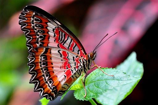 Red Lacewing, Butterfly, Insect, Red, Lacewing, Wings