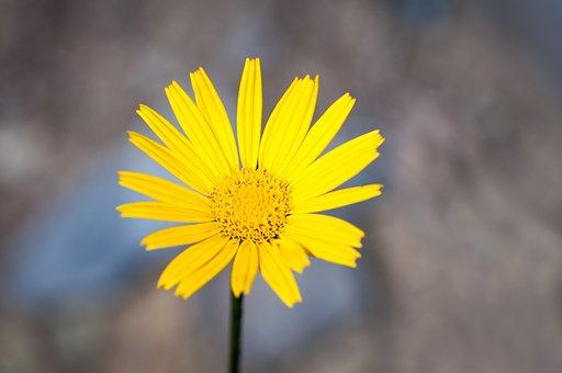 Sword-elecampane, Composites, Flower, Yellow