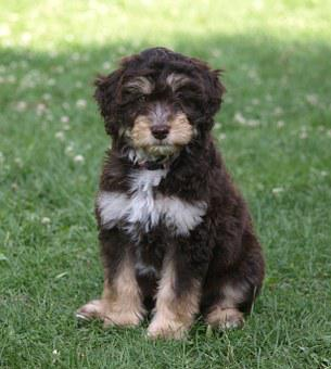 Puppy, Aussiedoodle, Young Dog, Dog, Cute, Small, Young