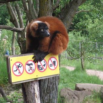 Red Lemur, Zoo, Panel