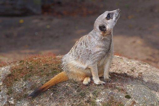 Mongoose, Meerkat, Mammal, Zwergmanguste, Active