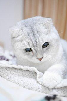 Scottish Fold Cats, Silver Gradient, Cat, Animal, Pets
