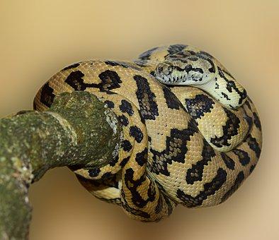 Carpet Python, Snake Wildlife, Animal World, Nature