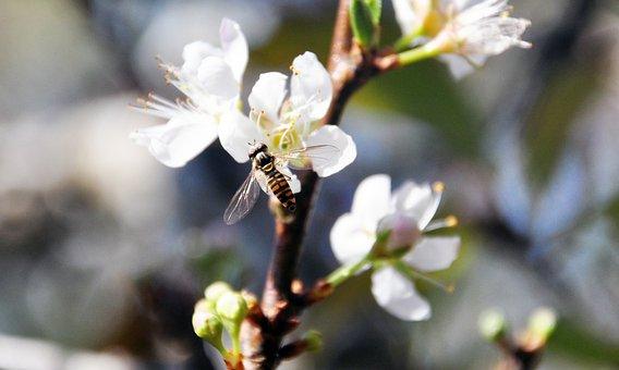 Plum Blossom, Bee, Flower, Quentin Chong, Pollen