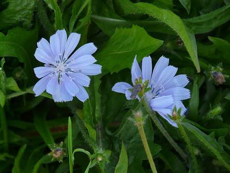 Chicory, Blossom, Bloom, Light Blue, Common Chicory