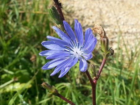 Blossom, Bloom, Blue Wait, Chicory, Plant, Nature, Blue