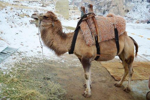 Camel, Animal, Mammal, Travel, Safari, Tourism, Arabian